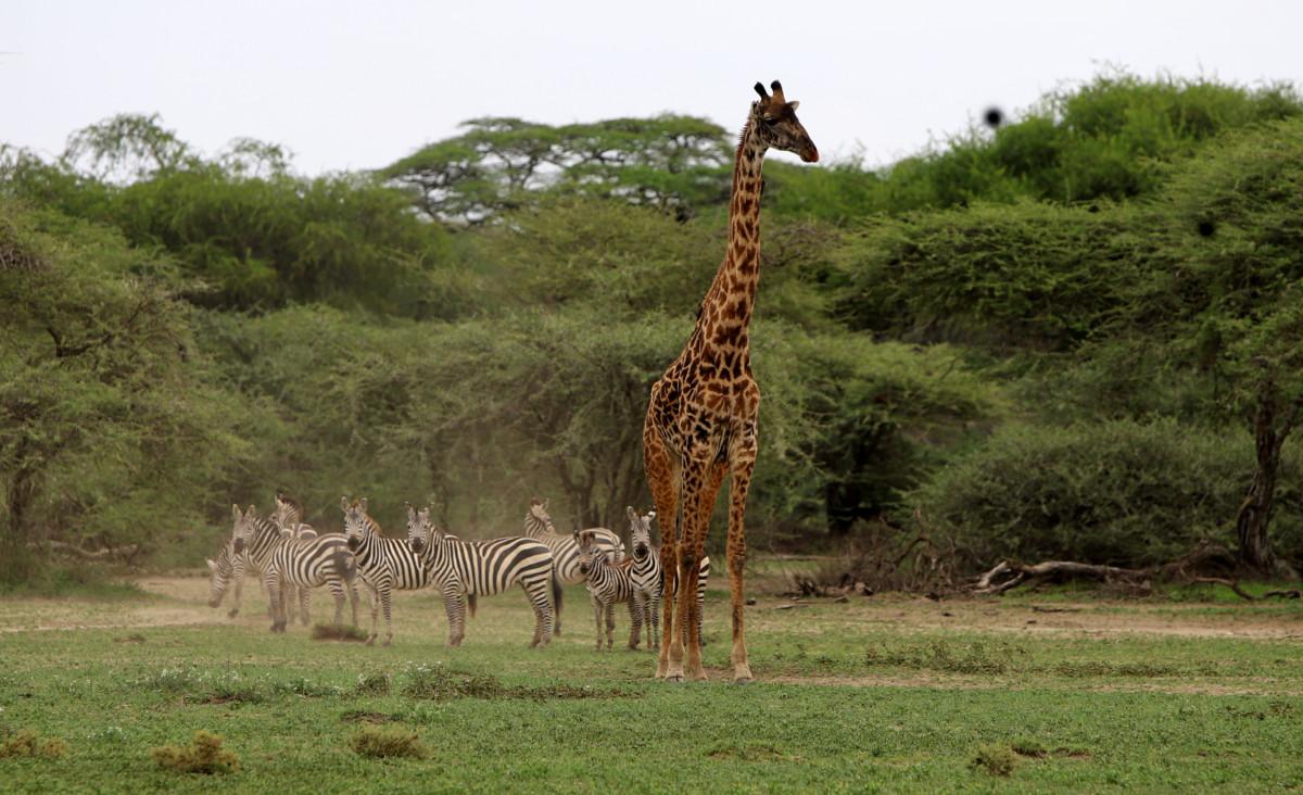 Girafe and zebras