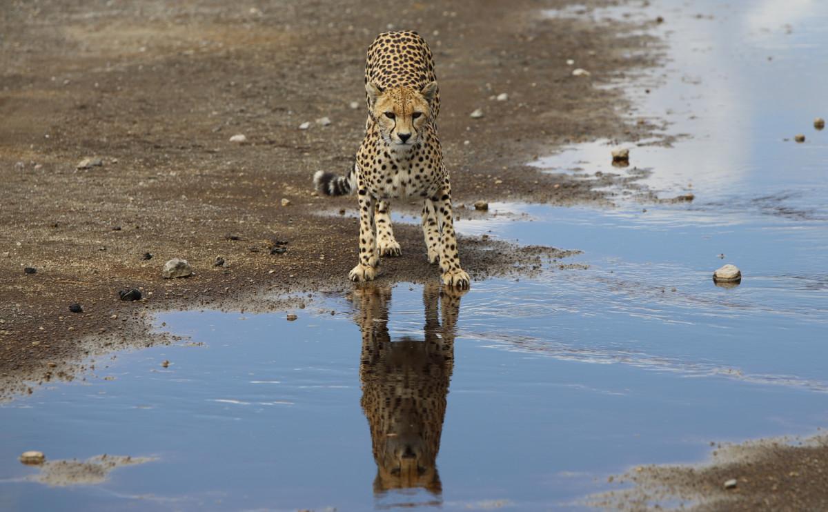 Serengeti drinking cheetah 4