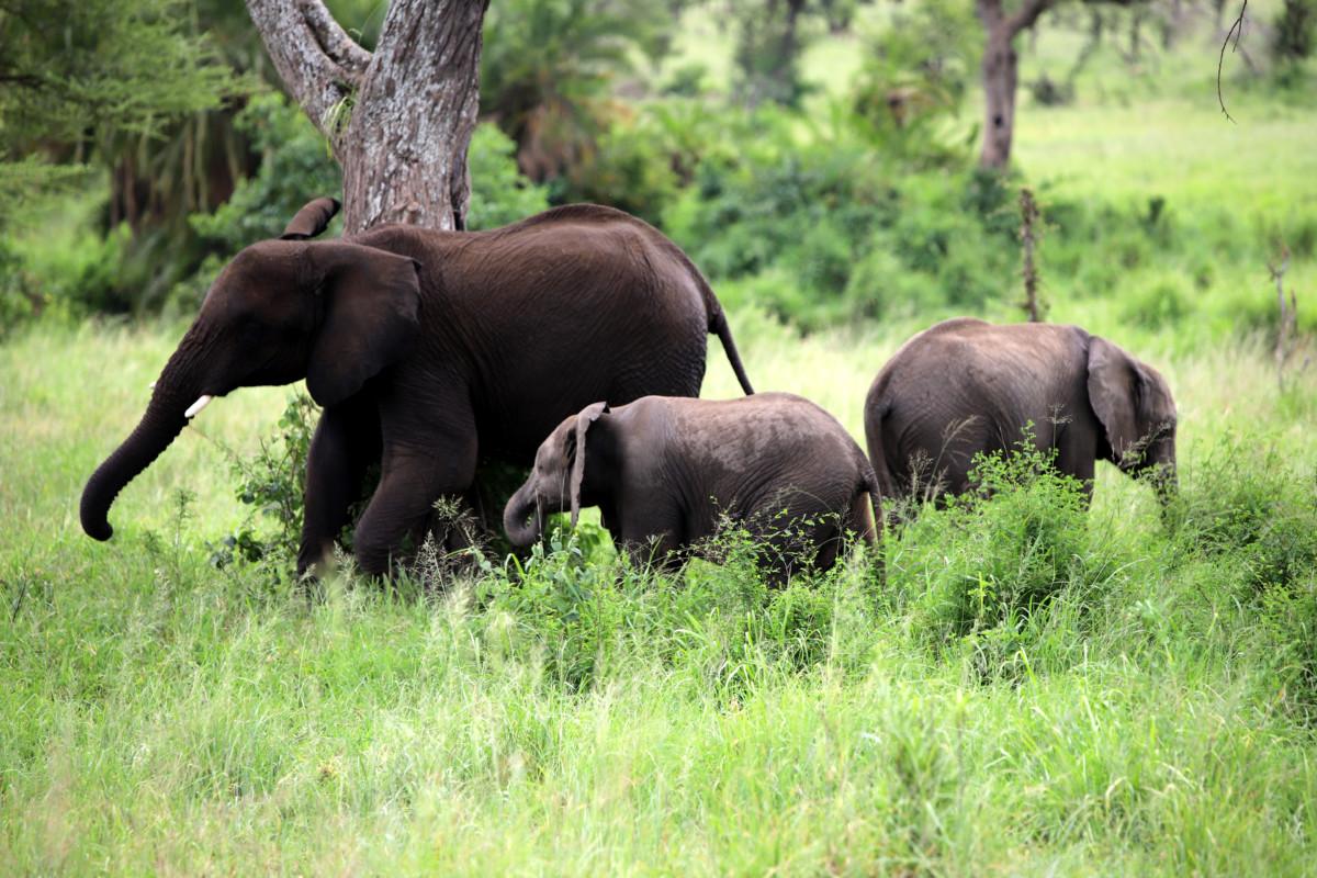 Serengeti elephants family