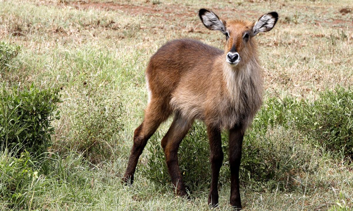 Serengeti waterbuck